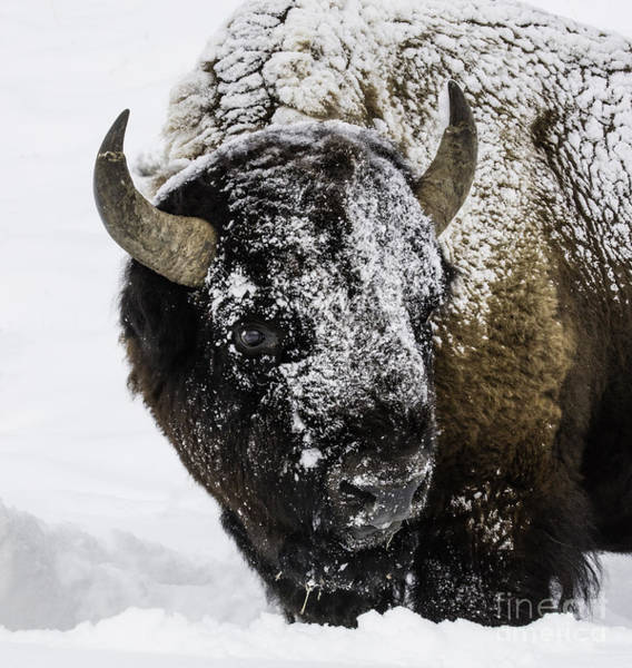Wall Art - Photograph - Winter Bison I by Carol Walker