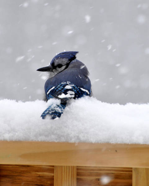 Blue Berry Photograph - Winter Blue Jay by Diane E Berry