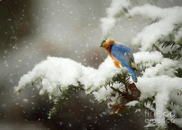 Wildbird Photograph - Winter Bluebird by Darren Fisher