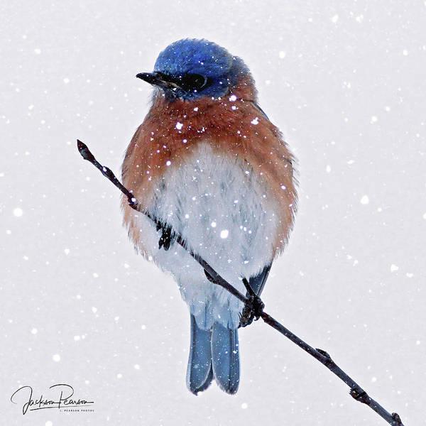 Photograph - Winter Bluebird by Jackson Pearson