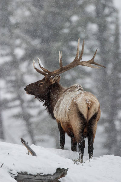 Winter Bull Elk Art Print