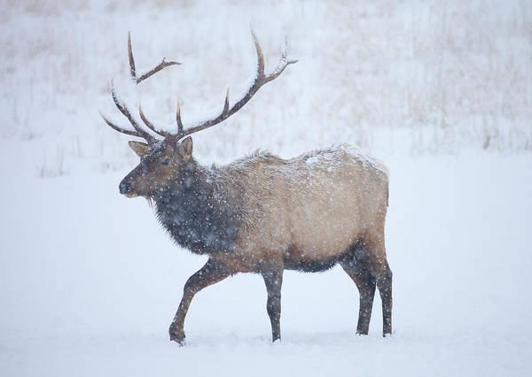 Rack Photograph - Winter Bull by Mike  Dawson