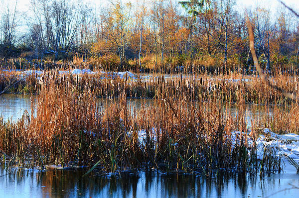 Photograph - Winter Bullrushes At Reifel by Lawrence Christopher