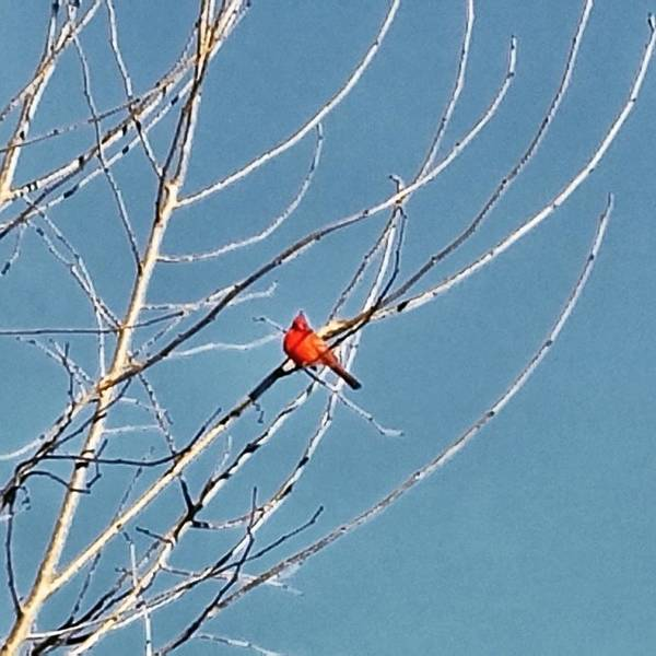 Photograph - Winter Cardinal  by Deb Martin-Webster