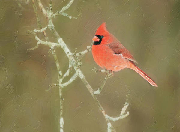 Photograph - Winter Cardinal by Sue Collura