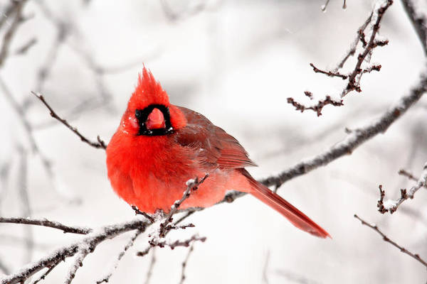 Photograph - Winter Cardinal by Trina Ansel