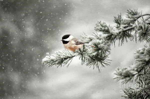 Chickadees Photograph - Winter Chickadee by Darren Fisher