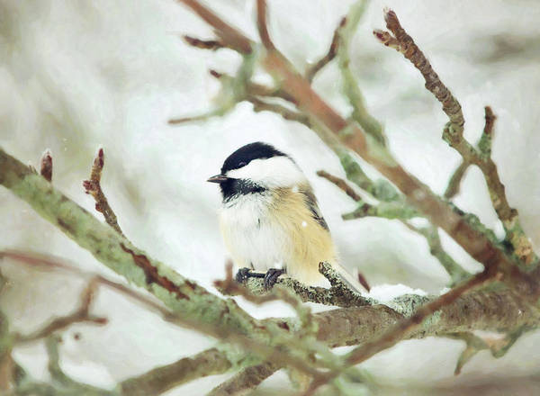 Photograph - Winter Chickadee by Sue Collura