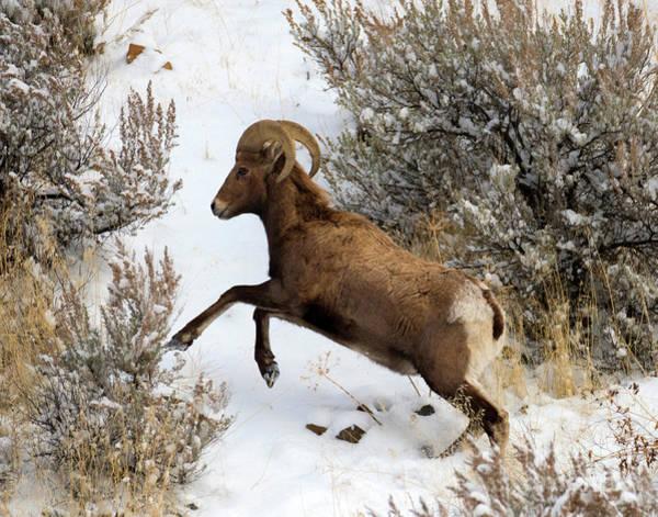 Bighorn Sheep Wall Art - Photograph - Winter Climb by Mike Dawson