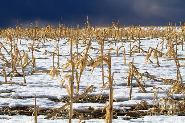 Photograph - Winter Corn by Jim Garrison