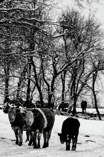 Wall Art - Photograph - Winter Cows by Elaine Hunter