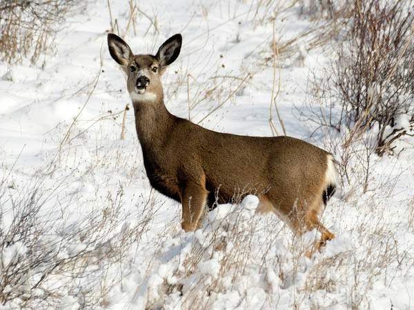 Winter Deer Photograph - Winter Doe by Mike Dawson