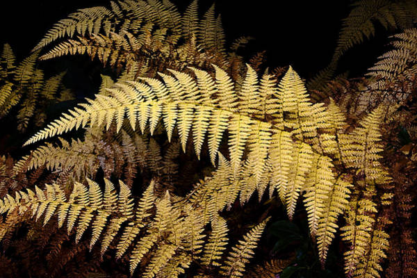 Photograph - Winter Fern by Ken Barrett