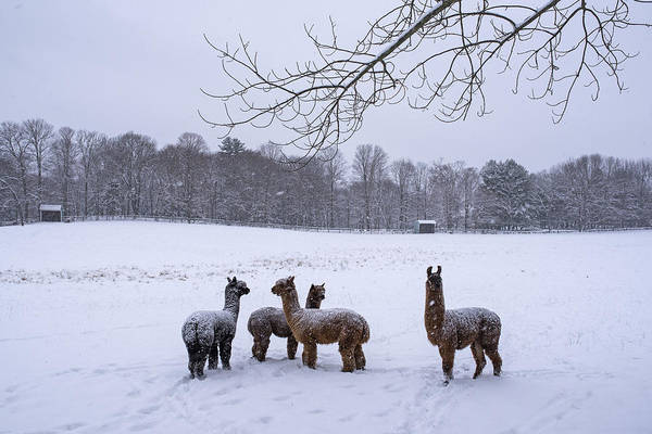 Photograph - Winter Field Alpacas Metro West by Toby McGuire