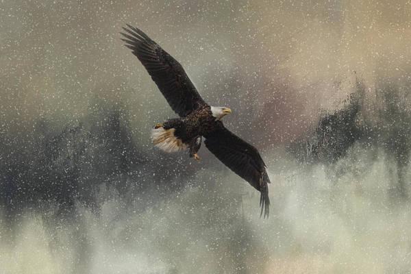 Photograph - Winter Flight - Bald Eagle by Jai Johnson