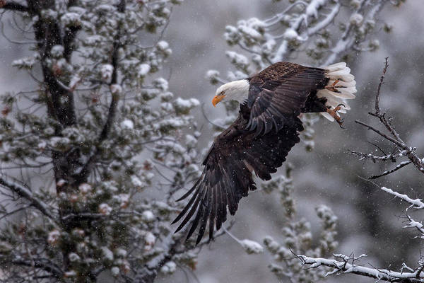 Haliaeetus Leucocephalus Photograph - Winter Flight by Sandy Sisti