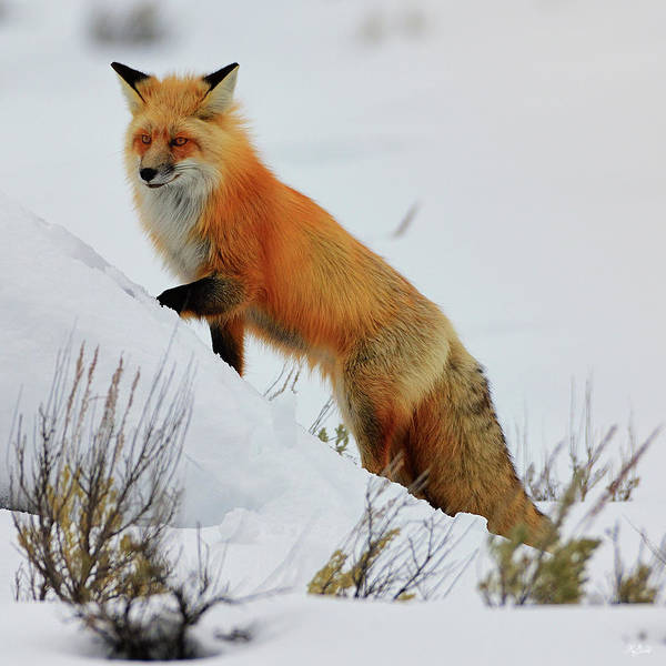 Photograph - Winter Fox by Greg Norrell