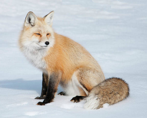 Photograph - Winter Fox by Norman Hall