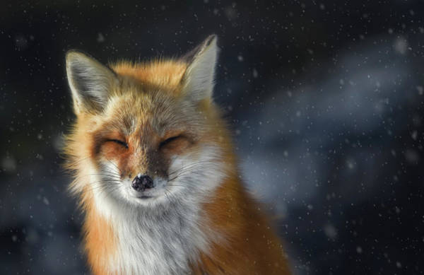 Photograph - Winter Fox by Tracy Munson