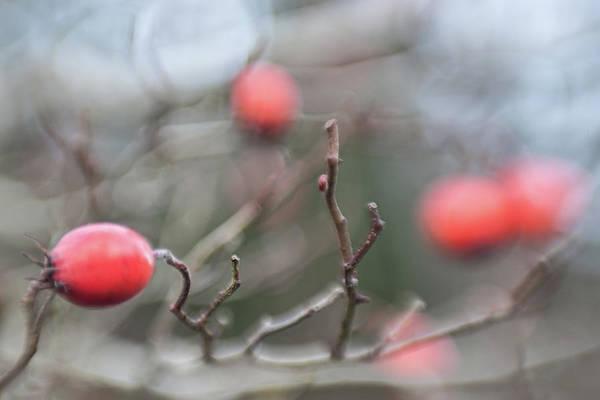Photograph - Winter Hawthorn by Scott Campbell