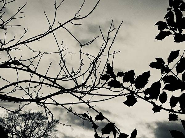 Photograph - Winter Holly Tree Silvertone by Itsonlythemoon