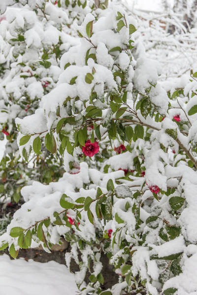 Wall Art - Photograph - Winter In Spring Camellia  by Keith Mucha