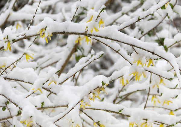 Wall Art - Photograph - Winter In Spring Forsythia 1 by Keith Mucha