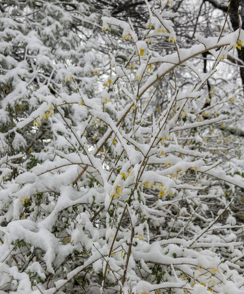 Wall Art - Photograph - Winter In Spring Forsythia 2 by Keith Mucha