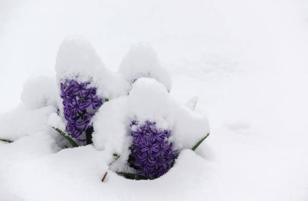 Wall Art - Photograph - Winter In Spring Hyacinth by Keith Mucha