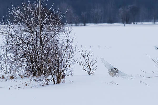 Wall Art - Photograph - Winter Landscape With Snowy Owl Hunting by Mircea Costina Photography