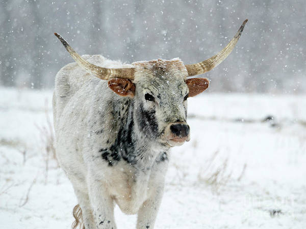 Longhorn Cattle Wall Art - Photograph - Winter Longhorn by Mike Dawson