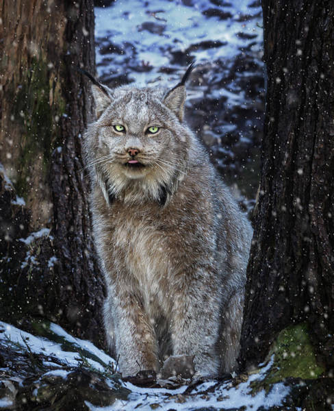 Photograph - Winter Lynx by Tracy Munson