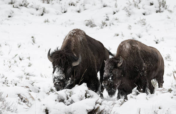 Photograph - Winter Mates by Ronnie and Frances Howard