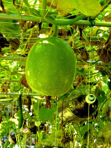 Winter Squash Painting - Winter Melon On Its Tree 6 by Jeelan Clark