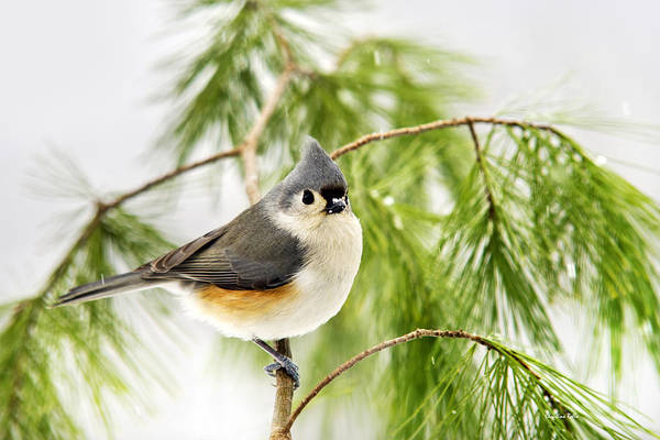 Photograph - Winter Titmouse Bird by Christina Rollo