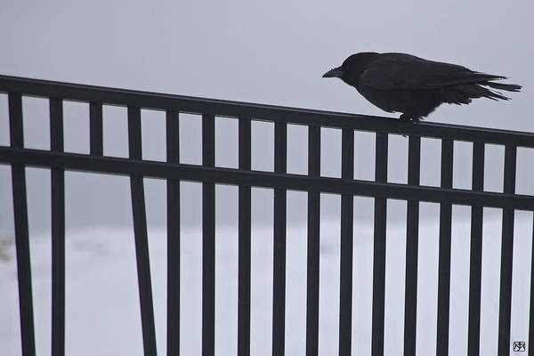 Photograph - Winter Raven by John Meader