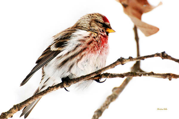 Photograph - Winter Redpoll by Christina Rollo