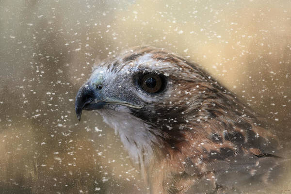 Photograph - Winter Redtail by Jai Johnson