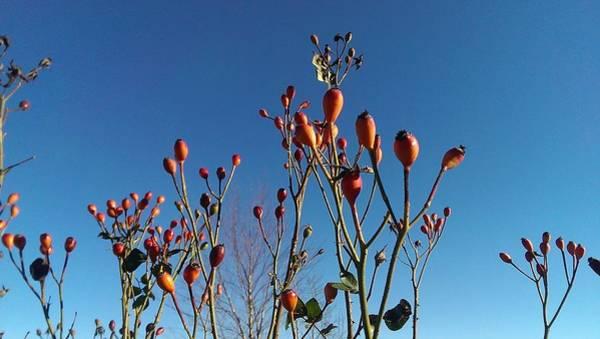 Wall Art - Photograph - Winter Roses by Nick Blake