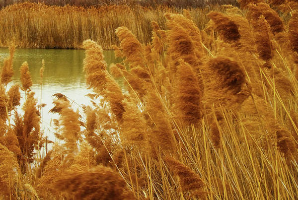 Photograph - Winter Rushes by David King