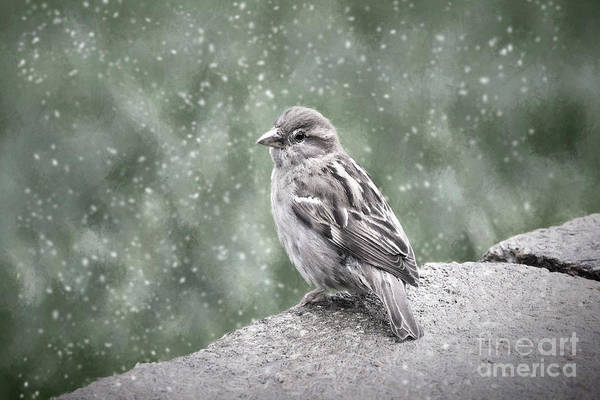 House Sparrow Photograph - Winter Sparrow by Sharon McConnell