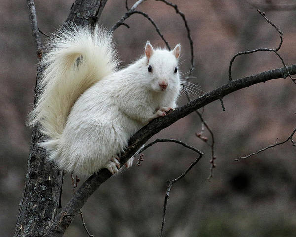 Photograph - Winter Squirrel by William Selander