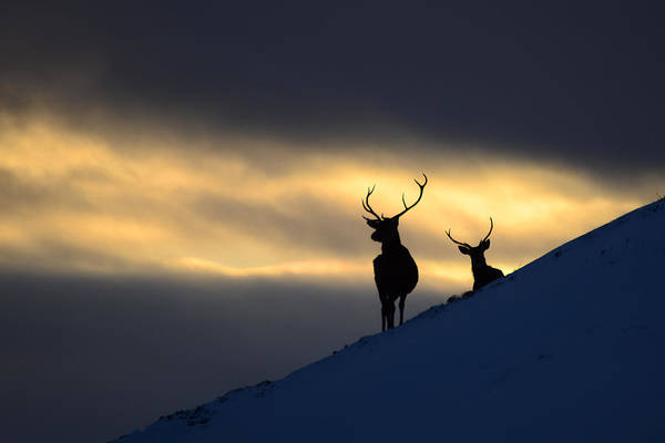 Photograph - Winter Stags Silhouette by Gavin MacRae