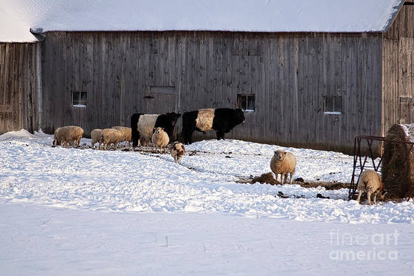 Photograph - Winter Sunny Day At The Farm by Tatiana Travelways