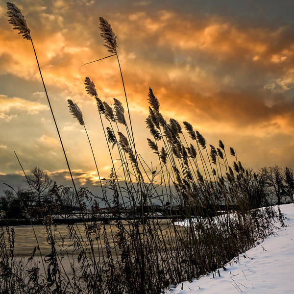 Photograph - Winter Sunrise Through The Reeds - Square by Chris Bordeleau