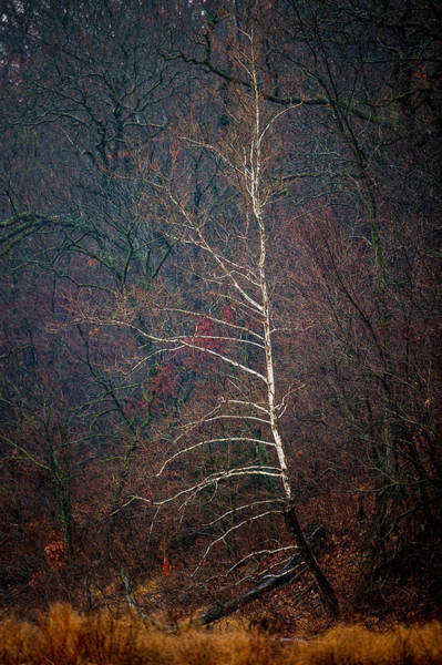 Photograph - Winter Sycamore by Jeff Phillippi