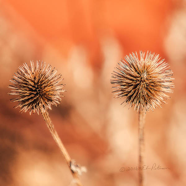 Photograph - Winter Thistle by Edward Peterson
