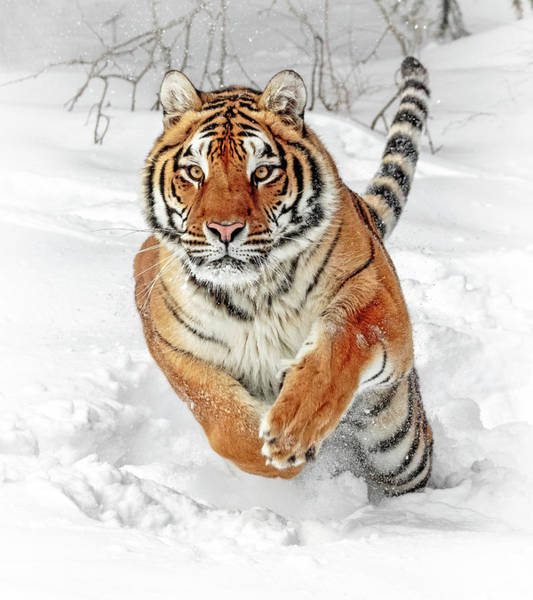 Photograph - Winter Tiger by Wes and Dotty Weber
