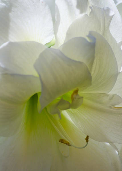 Photograph - Winter White Amaryllis by Stephanie Maatta Smith