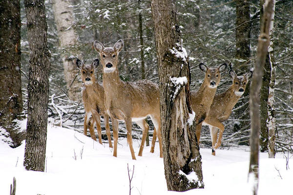 Photograph - Winter Whitetail Deer by Gregory K Scott